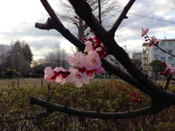 これはアンズです。梅と桃を合わせたような可愛い花でした。